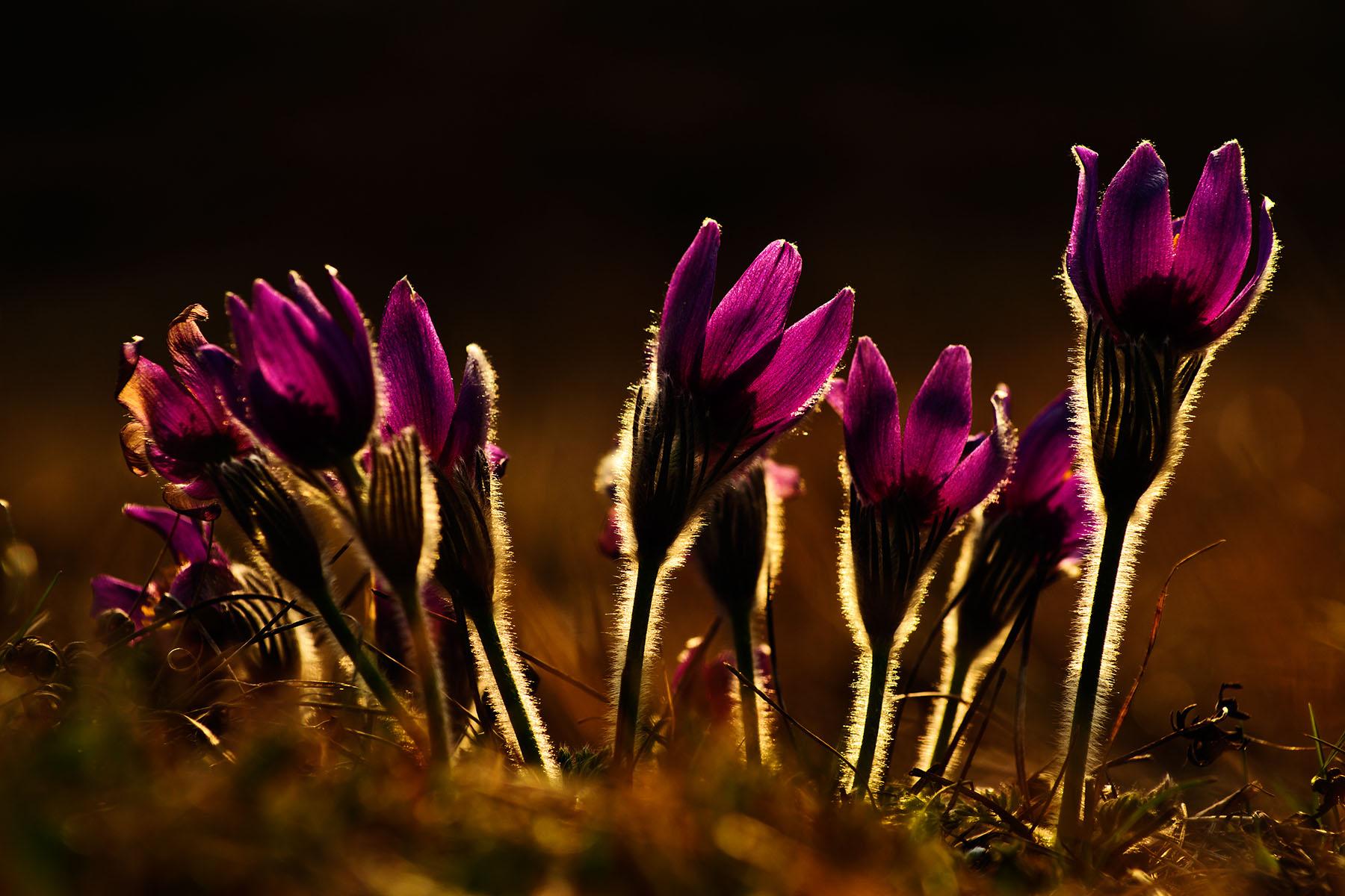 Küchenschelle Blume ~ küchenschelle