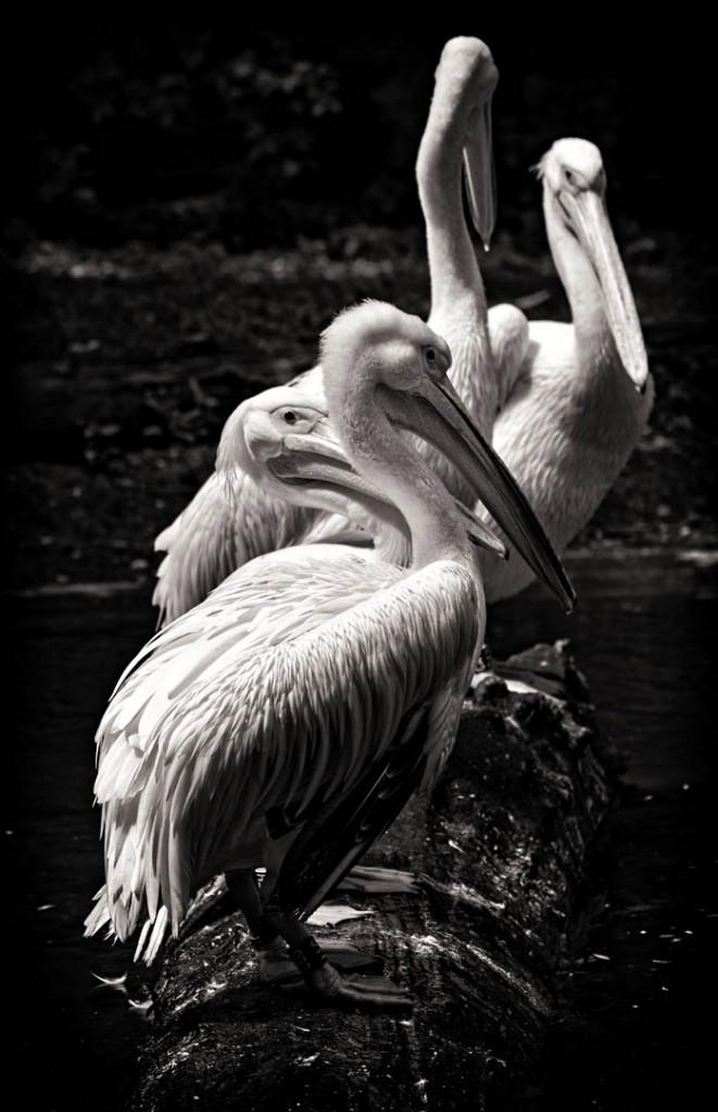 Pelikan 3