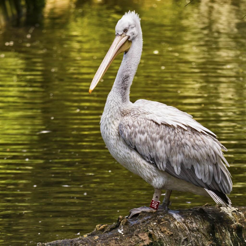 Pelikan 5