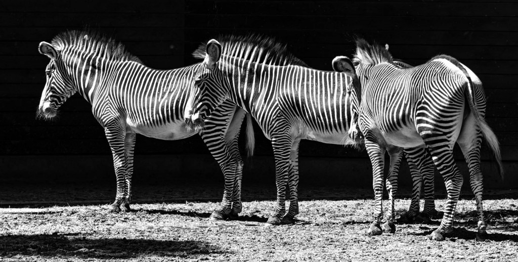 laaanges Zebra